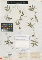 Isotype of Apios gracillima Dunn [family FABACEAE]