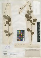 Isotype of Desmodium grahamii A. Gray [family FABACEAE]