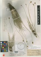 Holotype of Carex integra Mack. [family CYPERACEAE]