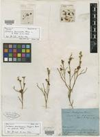 Holotype of Jacksonia sternbergiana var. puberula Meisn. [family FABACEAE]