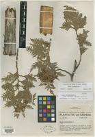 Isotype of Thuja occidentalis f. gaspensis Vict. & J. P. Roux [family CUPRESSACEAE]