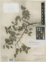 Syntype of Celtis georgiana Small [family ULMACEAE]
