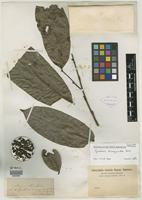 Isotype of Guatteria diospyroides Baill. [family ANNONACEAE]