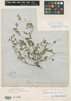 Holotype of Rhynchosia texana Torr. & A. Gray [family FABACEAE]