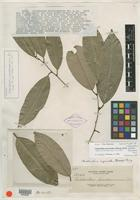 Isotype of Cleistanthus pseudocanescens Elmer [family EUPHORBIACEAE]