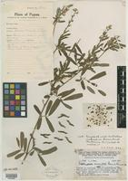 Isotype of Tephrosia maculata Merr. & L. M. Perry [family FABACEAE]
