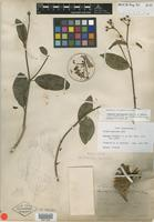 Isotype of Hiraea mexicana Rose [family MALPIGHIACEAE]