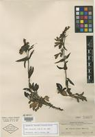Isotype of Penstemon arizonicus A. Heller [family SCROPHULARIACEAE]