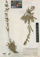 Holotype of Penstemon virens Pennell [family SCROPHULARIACEAE]