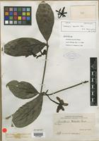 Isolectotype of Gardenia merrillii Elmer [family RUBIACEAE]