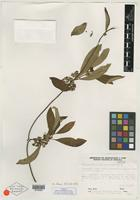 Isotype of Sabicea morillorum Steyerm. [family RUBIACEAE]