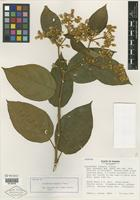 Isotype of Lycianthes luteynii D'Arcy [family SOLANACEAE]