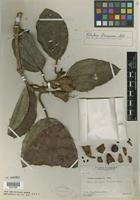 Type of Blakea brunnea Gleason [family MELASTOMATACEAE]