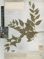 Holotype of Piptocarpha gracilis Rusby [family ASTERACEAE]