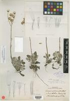 Holotype of Senecio antennariifolius Britton [family ASTERACEAE]