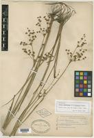 Syntype of Juncus acuminatus var. robustus Engl. [family JUNCACEAE]