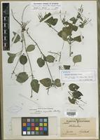 Isotype of Justicia myriantha Standl. [family ACANTHACEAE]