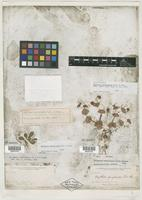 Isolectotype of Oxytheca perfoliata Torr. & A. Gray [family POLYGONACEAE]