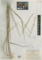 Isotype of Bouteloua pringlei Scribn. [family POACEAE]