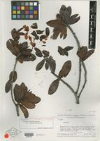 Isotype of Bonnetia martiana var. venadoensis Maguire [family THEACEAE]