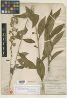 Holotype of Solidago porteri Small [family ASTERACEAE]