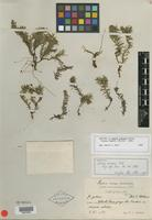 Isotype of Pectis pinosia Urb. [family ASTERACEAE]