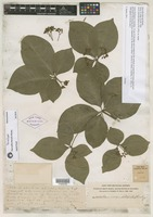 Syntype of Rauvolfia littoralis Rusby [family APOCYNACEAE]