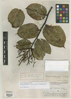 Filed as Allantoma pachyantha (A. C. Sm.) S. A. Mori, Y.-Y. Huang & Prance [family LECYTHIDACEAE]