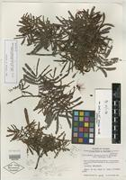 Isotype of Calliandra sesquipedalis McVaugh [family MIMOSACEAE]