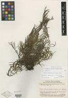 Isotype of Ceradenia dendrodoxa L. E. Bishop [family PTERIDOPHYTE]