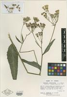 Holotype of Hasteola robertiorum L. C. Anderson [family ASTERACEAE]