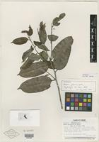 Isotype of Mabea jefensis Huft [family EUPHORBIACEAE]