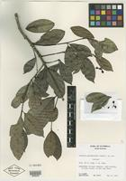 Isotype of Turpinia guatemalensis Lundell [family STAPHYLEACEAE]