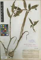Isotype of Epidendrum evelynae Rchb. f. [family ORCHIDACEAE]
