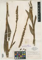 Holotype of Limnorchis leucostachys var. robusta Rydb. [family ORCHIDACEAE]