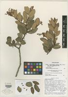 Isotype of Comarostaphylis spinulosa (M. Martens & Galeotti) Diggs [family ERICACEAE]