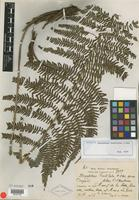 Isotype of Dryopteris hastiloba C. Chr. [family PTERIDOPHYTE]