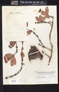 Isotype of Hydnophytum contortum Merr. & L. M. Perry [family RUBIACEAE]