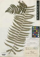 Type of Cyathea glauca E. Fourn. [family PTERIDOPHYTE]