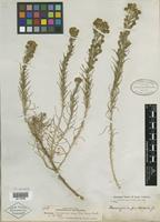Isotype of Hemizonia frutescens A. Gray [family ASTERACEAE]
