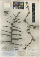 Isotype of Phaulothamnus spinescens A. Gray [family ACHATOCARPACEAE]