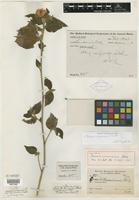 Holotype of Pavonia canaminensis Rusby [family MALVACEAE]