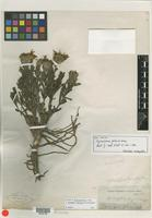 Isotype of Pyrrocoma foliosa A. Gray [family ASTERACEAE]