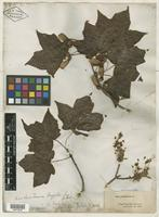 Type of Acer rugelii Pax [family ACERACEAE]