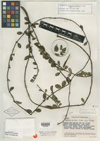 Isotype of Cynanchum sucrense R. W. Holm [family ASCLEPIADACEAE]