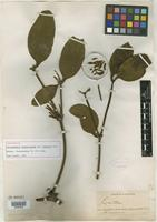 Holotype of Phoradendron robustissimum var. simulans Trel. [family VISCACEAE]