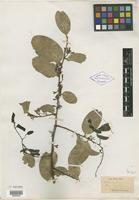 Isotype of Olax wightiana Wall. ex Wight & Arn. [family OLACACEAE]