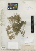 Isotype of Arenaria gregaria A. Heller [family CARYOPHYLLACEAE]
