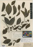 Isotype of Caryocar glabrum subsp. pilosum Wittm. [family CARYOCARACEAE]