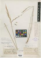 Isotype of Poa laevis Vasey [family POACEAE]